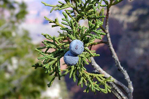 Juniper Berries Growing