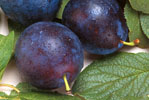 Two Whole Purple Plums With Leaves